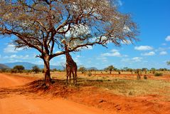 Safari Giraffe. Safari in Kenya, spotting girafe under a tree Stock Photo