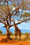 Safari Giraffe. Safari in Kenya, spotting girafe under a tree Royalty Free Stock Photo