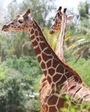 Safari-Giraffen stockfoto