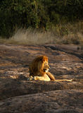 Safari Highlight. Seeing the African male lion on safari is a definite highlight Stock Photography