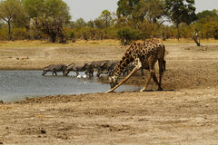 Safari Highlights Imagens de Stock