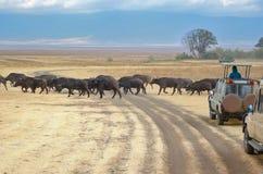Safari i Afrika, turister i jeepar som håller ögonen på bufflar att korsa vägen i savannah av Kruger, parkerar, djurliv av Sydafr fotografering för bildbyråer