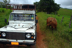 Safari jeep and cow on road. A cow sharing a dirt roadway with a safari jeep Stock Photo