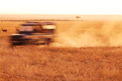 Safari Jeep Driving arkivfoton