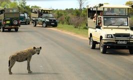 Safari in Kruger National Park Royalty Free Stock Photo