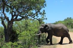 Safari in Kruger National Park Stock Image