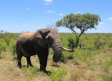 Safari in Kruger National Park Royalty Free Stock Images