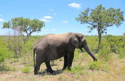 Safari in Kruger National Park Stock Images