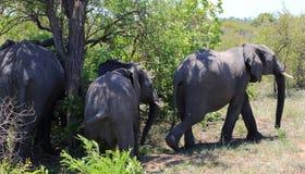Safari in Kruger National Park Stock Photos