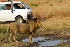 Safari, Löwe und nicht für den Straßenverkehr Auto stockbild