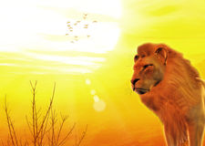 Safari Lion King At Sunset Royalty Free Stock Photos