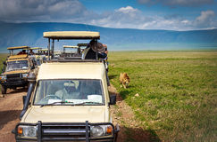 Safari lion watching, Tanzania Stock Photos