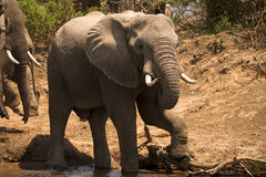 Safari Lower Zambezi. Elephant drinking, safari Lower Zambezi, Zambia Stock Images
