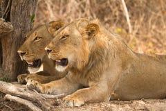 Safari Luangwa del sud Fotografie Stock Libere da Diritti