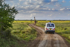 Safari in Nairobi National Park Royalty Free Stock Photo