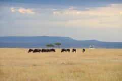 Safari no savana fotos de stock