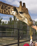 Safari Park. Food for a giraffe. Stock Image