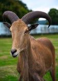 Safari Park Goat Royalty-vrije Stock Foto