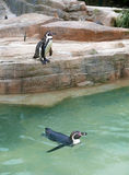 Safari park penguin enclosure Royalty Free Stock Images