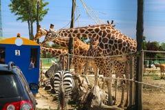 Safari royalty free stock photo