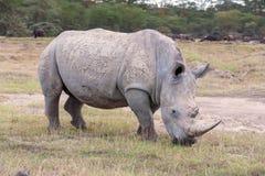 Safari - rhino Royalty Free Stock Image