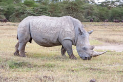 Safari - rhino Stock Photography