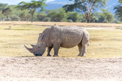 Safari - rhino Royalty Free Stock Image