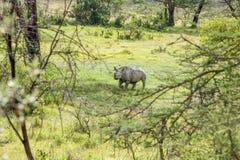 Safari - rhino Stock Photography
