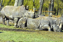 Safari rhinoceros. Two rhinos bonding with each other in Fuji Safari park. One of the rhino standing while closing its eyes such that its look like sleeping Royalty Free Stock Photos