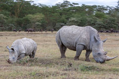 Safari - rhinos Royalty Free Stock Photography