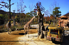 Safari ride in Everland, South Korea. Located in Everland, South Korea. A themed park full with lots of thrilling and exciting activities. Among other are the royalty free stock image