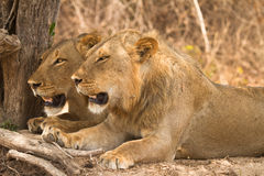 Safari SüdLuangwa Lizenzfreie Stockfotos