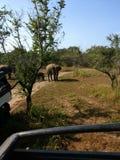 Safari słoni przejażdżka obraz royalty free