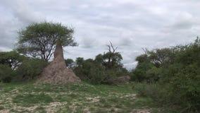 Safari salvaje Tanzania Rwanda Botswana Kenia de la sabana de los pictrures africanos del verano metrajes