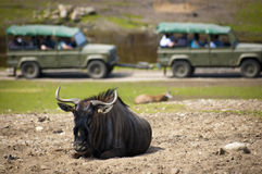A safari tour passing a wildebeest on the savannah. Wildebeest resting on dusty patch in a safari park, while a guided tour pass by in the background Stock Image