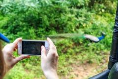 Safari tourist makes photo of peacock Stock Photos