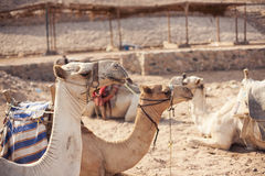 Safari trip in desert with camels. In Sharm El Sheikh Egypt stock photography