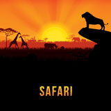 Safari. Vector illustration of Africa landscape with African lion standing on rock and sunset background Royalty Free Stock Image