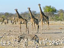 Safari Wildlife. A capture of some of the finest African wildlife, elephants, giraffes and zebras stock image