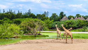 Safari World park. Group of giraffes in a Safari World park in Bangkok, Thailand Royalty Free Stock Image