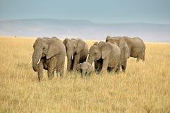 Safari z afrykanów słoniami w Kenja Fotografia Stock