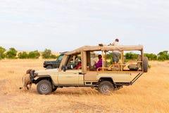 Safari z lwami, Afryka Zdjęcie Royalty Free