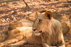 Safari Zambia Stock Images