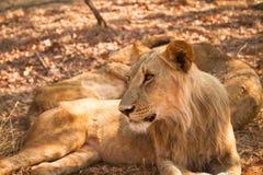 Safari Zambia Stock Afbeeldingen