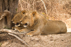Safari Zambia. Wild lions resting, Safari South Luangwa, Zambia Africa Royalty Free Stock Image