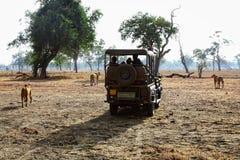 Safari in zambia Royalty Free Stock Image