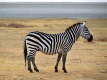 Safari -Zebra posing and curiously looking Royalty Free Stock Photo