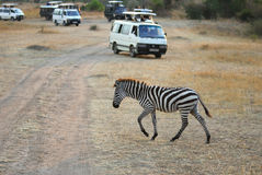 Safari, zebra and tourists cars Stock Photos
