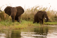 Safari Zimbabwe. Elephant, safari Mana Pools, Zimbabwe Africa Stock Photo