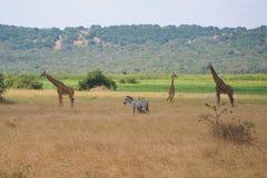 Safari zwierzęta w sawann trawach obrazy stock